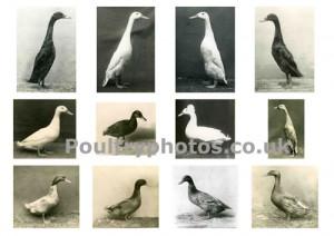 ducks_light_montage