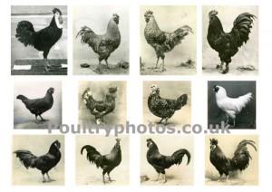 rare_poultry_vol2montage